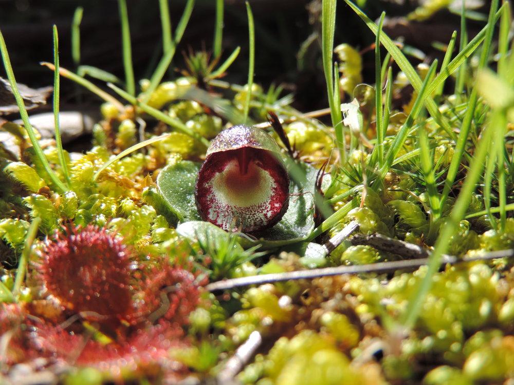 Helmet orchid  Corybas incurvus.JPG