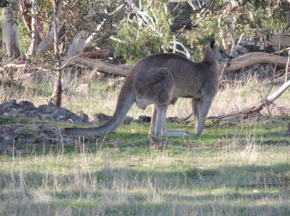 Grey Kangaroo.png