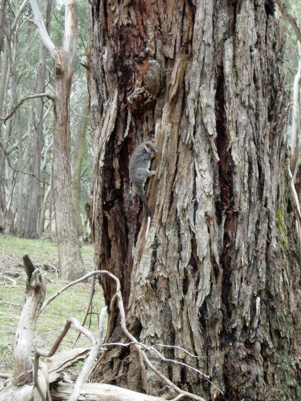 Ring Tailed possum .jpg