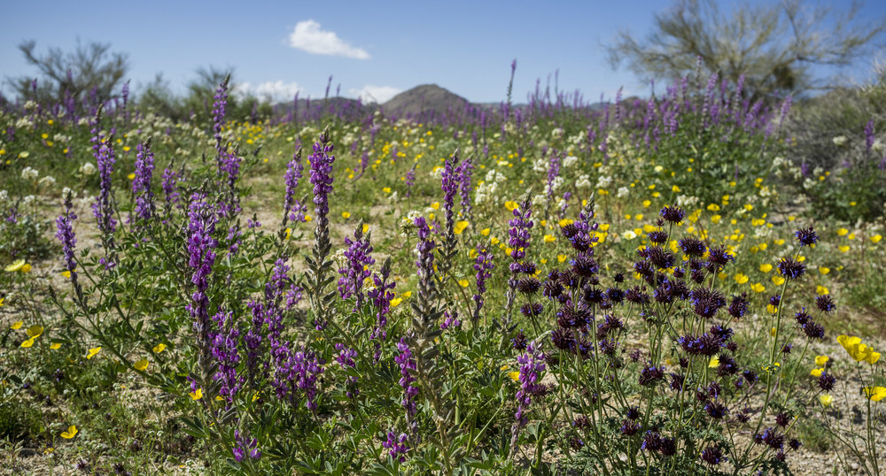 Wildflowers of the Colorado Desert, Photography by Roberto Flores Buck