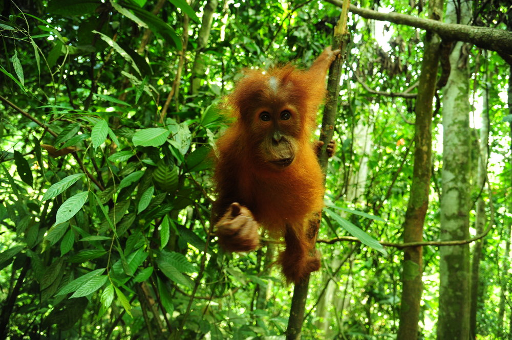 Orangutan Jungle Trekking Home Thumbnail