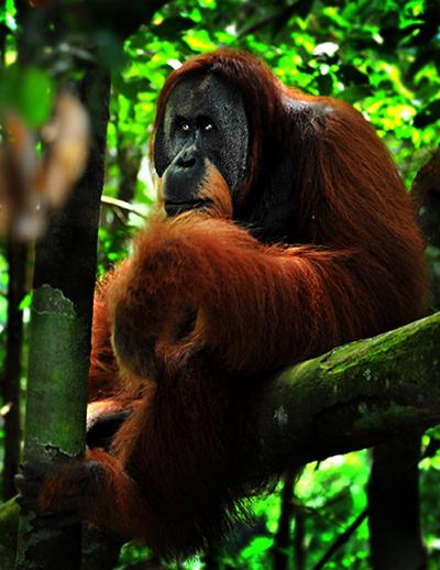 Orangutan at Bukit Lawang