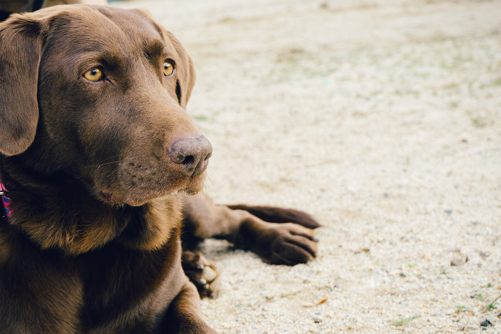 animal-dog-pet-brown.jpg