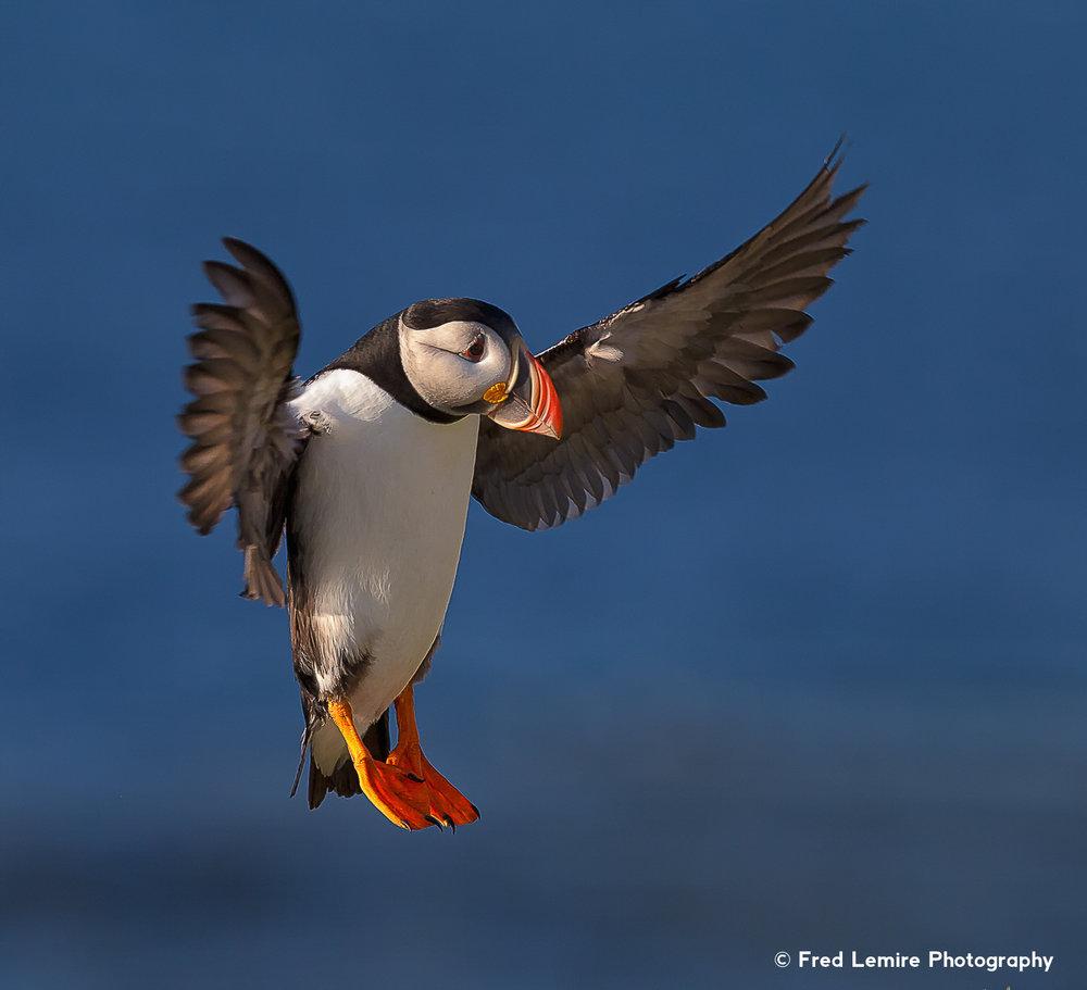 Sea birds 11