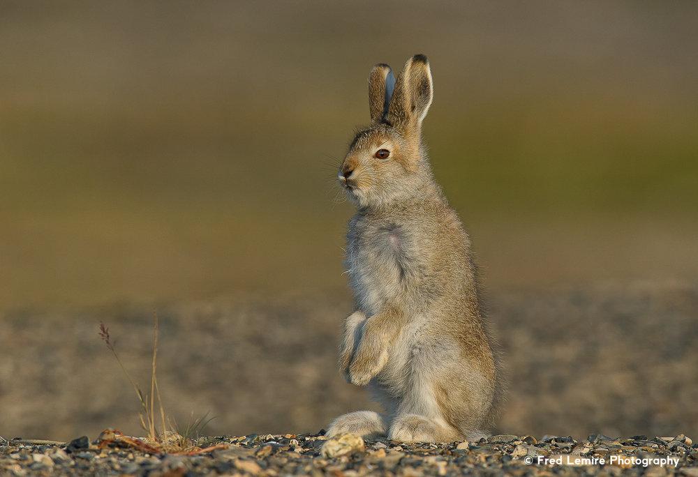 Arctic Hare 5