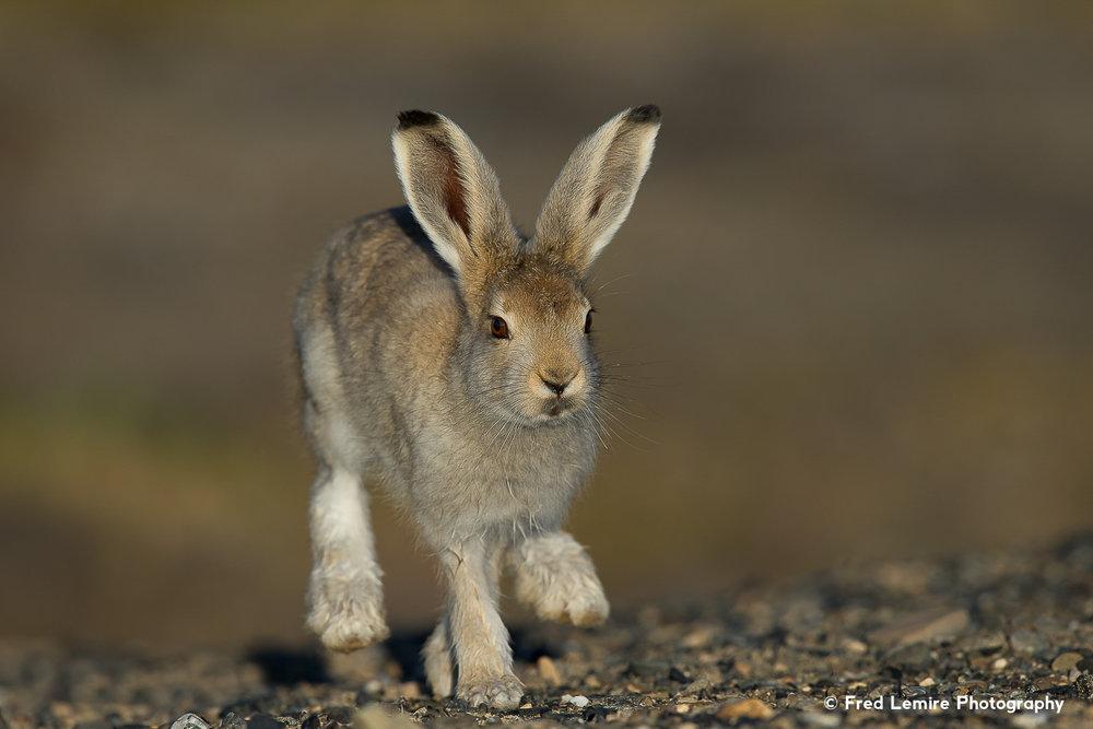 Arctic Hare 6