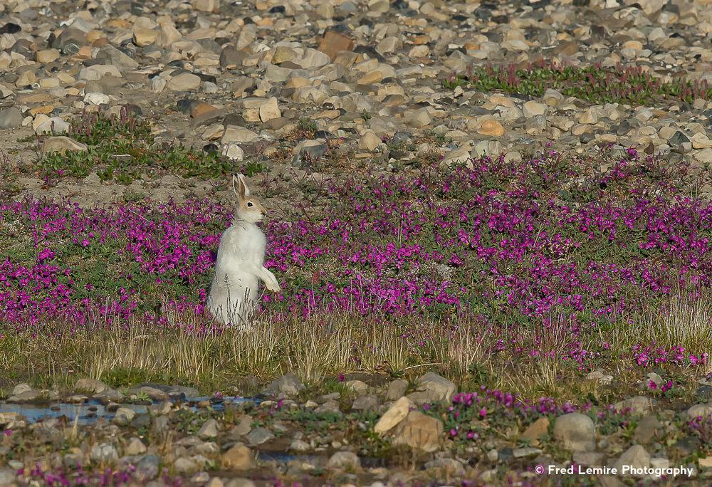 Arctic Hare 7