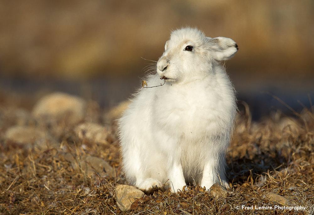 Arctic Hare 11