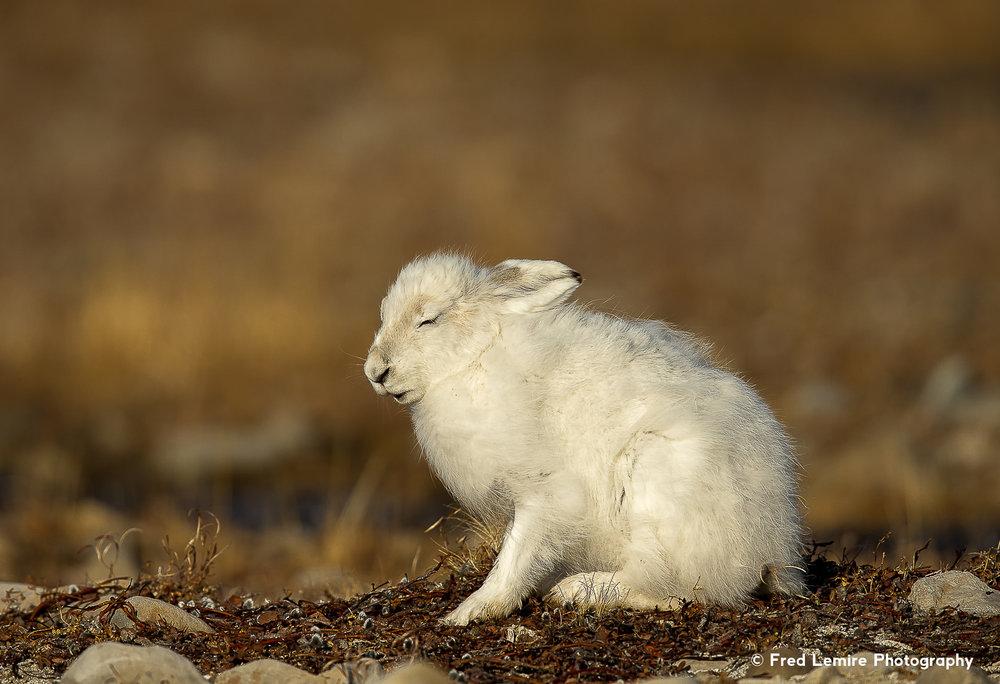 Arctic Hare 12