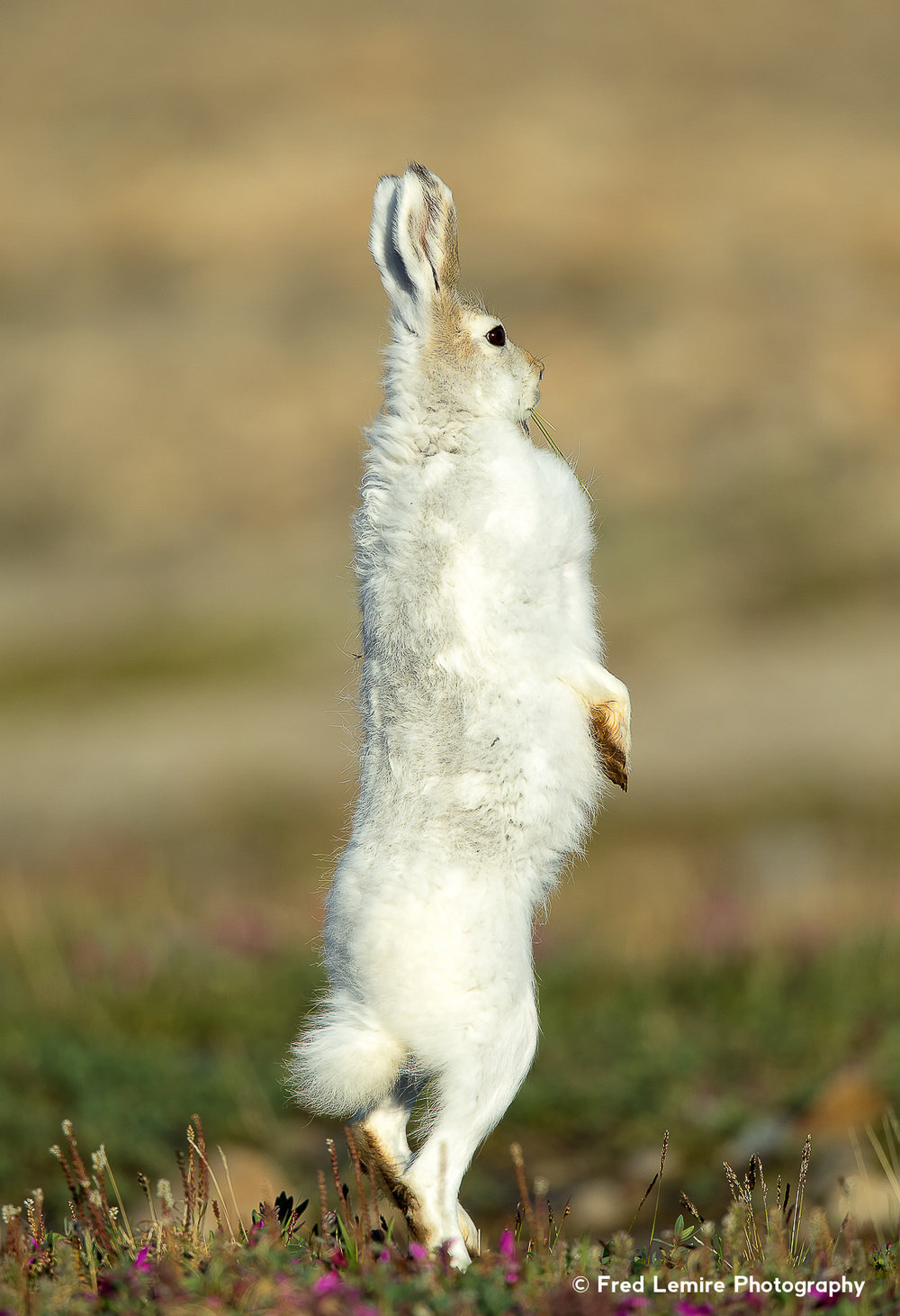 Arctic Hare 14