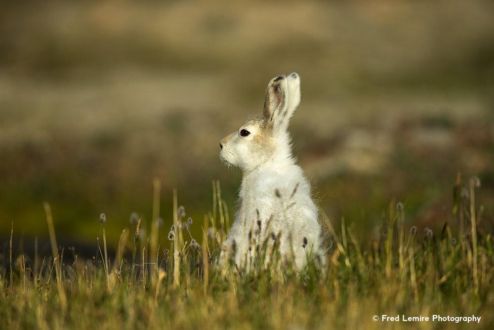 Arctic Hare 16