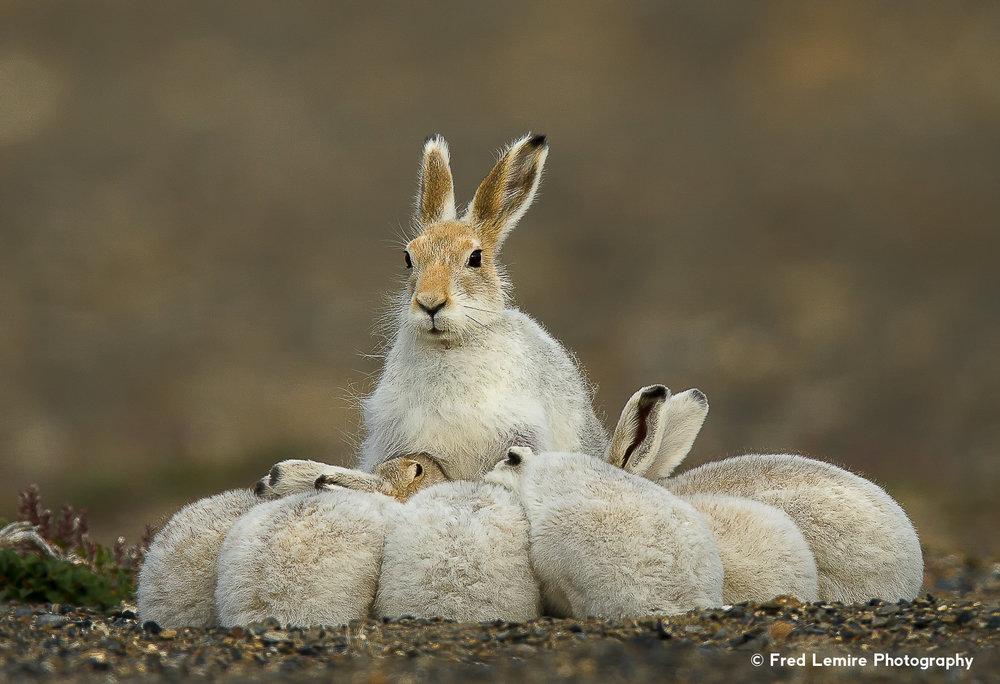 Arctic Hare 18