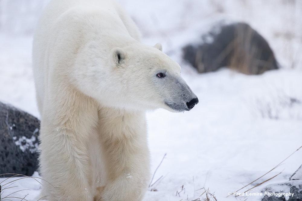 Bears 9