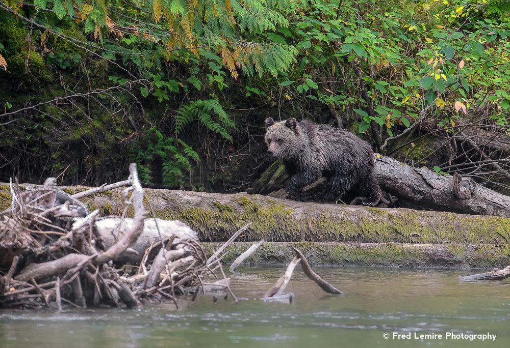 Bears 26