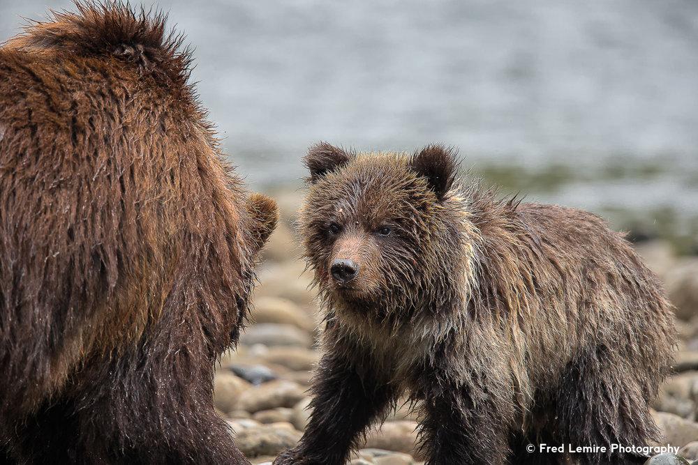 Bears 33