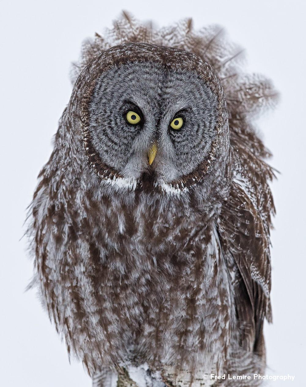 Owls 12