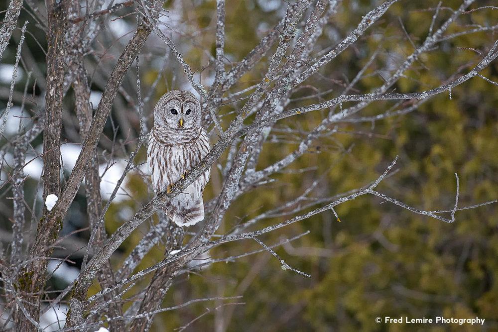 Owls 19