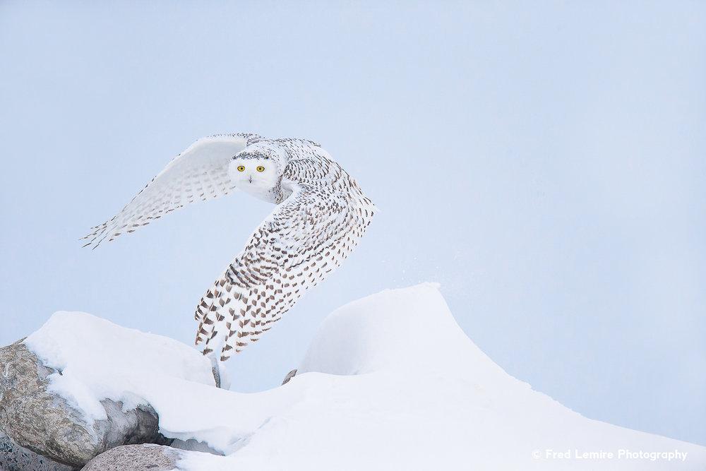 Owls 21