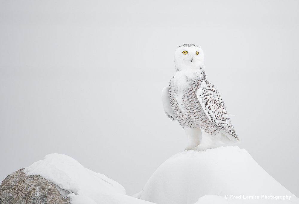 Owls 23
