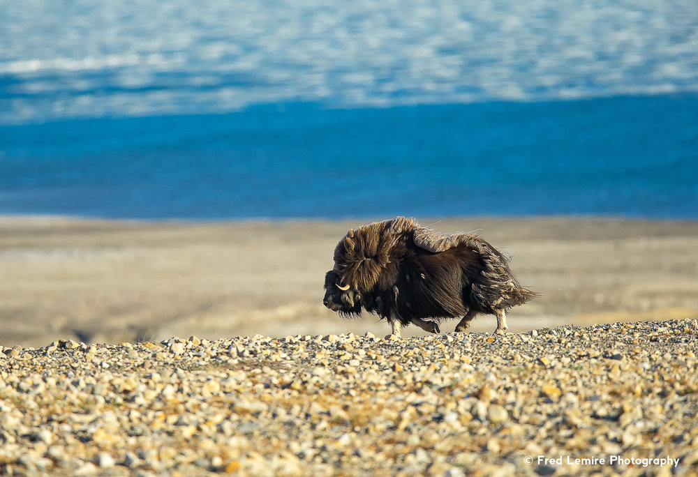 Fred Lemire Photography-muskox-66.jpg