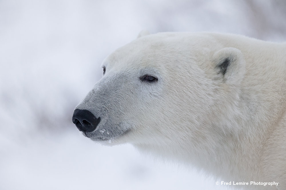 Fred Lemire Photography-bears-155.jpg