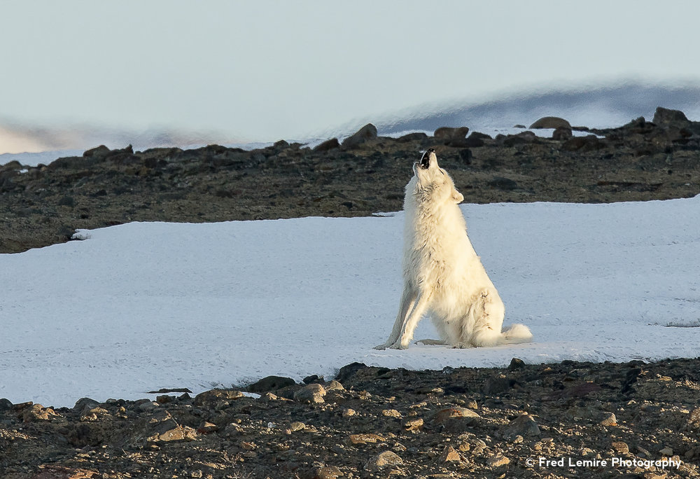 Fred Lemire Photography-wolves-267.jpg