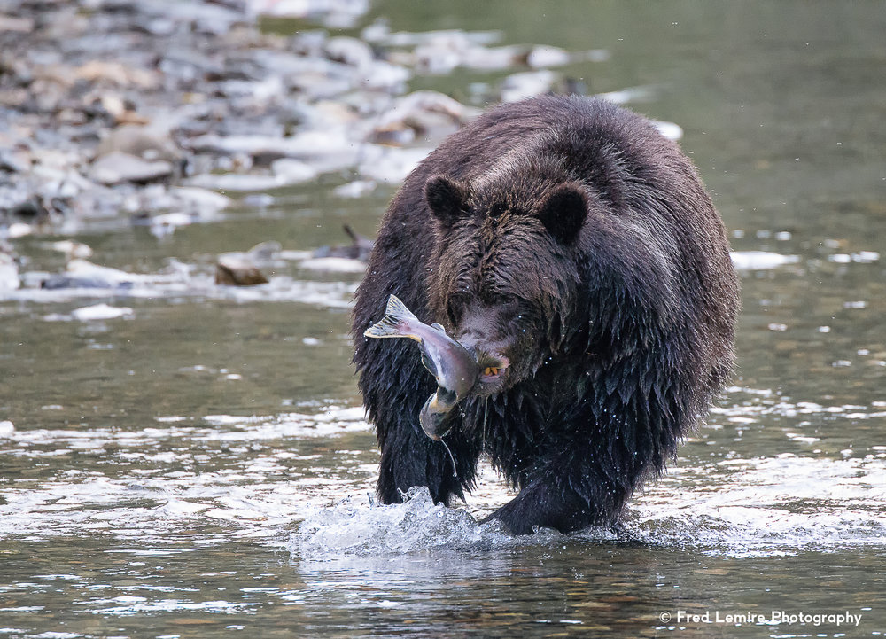 Grizzly Bears & Other Wildlife of BC