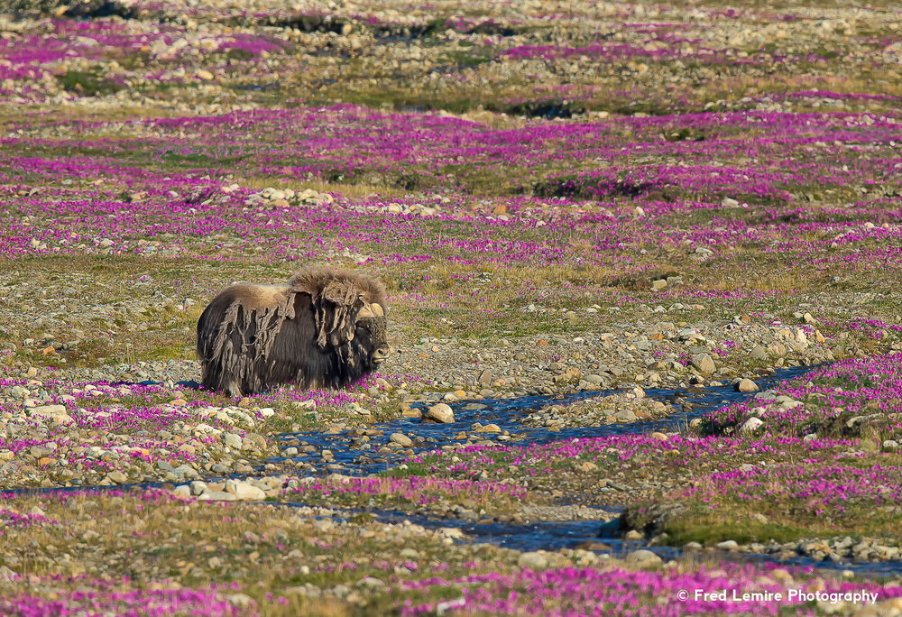 Fred Lemire Photography-muskox-62.jpg