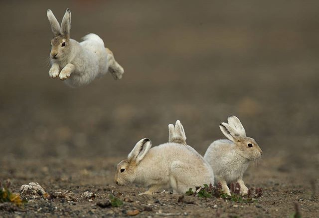 Arctic hare jumping and playing around  I noticed this behaviour a few times after being fed by the mother the babies just start bouncing and jumping around like they have a energy boost from the milk  Canon 1DX 600mm  1/2500@f/5.6 ISO 400 www.fredlemirephotography.com #wildlifephotography #natgeo #arctichare #nunavuttourism #nunavut #Ellesmereisland #canoncanada #canonphoto #shotoncanon #cangeo #natgeomyshot @canoncanada@cangeo@natgeomyshot@nunavuttourism@igscwildlife #igscwildlife@animal.fanatics
