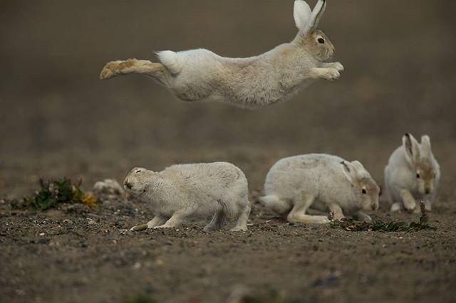 Arctic hare playing around Ellesmere Island,Nunavut Canon 1DX 600mm www.fredlemirephotography.com #arctic #nunavuttourism #nunavut #wildlifephotography #canoncanada #canonphoto #funny #cangeo #natgeoyourshot @canoncanada @natgeoyourshot @cangeo @marie_alex_lemire
