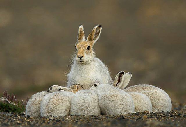 Arctic hares family High Arctic Nunavut,Canada Canon 1DX 600mm 1/2000s@f/5.6 ISO 400 www.fredlemirephotography.com #arctic #family #nature #nunavut #nunavuttourism #shotoncanon #canonphoto #cangeo #natgeoyourshots #canoncanada @canoncanada@natgeoyorshot#igscwildlife @igscwildlife#upheremag