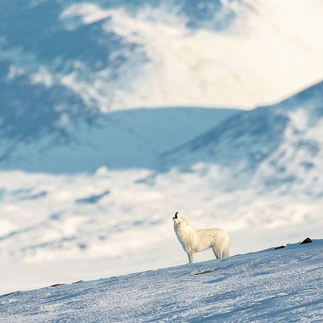 Arctic wolf  High Arctic,Nunavut,canada www.fredlemirephotography.com #wild #wolf #arcticwolves #arctic #fredlemire #wildlifephotography #igscwildlife #natgeoanimal #natgeotravel #canonphoto #canoncanada #cangeo#upheremag