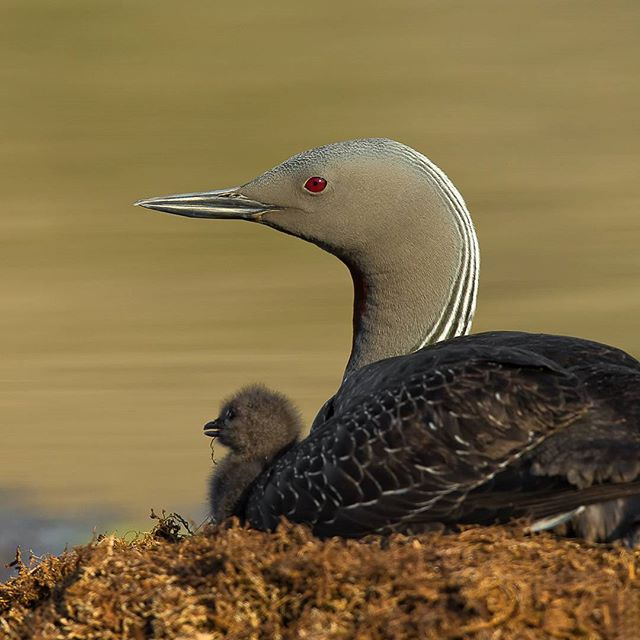 Red-throated loon and chick High Arctic, Nunavut, Canada Canon 1DX 600mm 1/1250sec @f/7.1 ISO 400 www.fredlemirephotography.com #loon #wild #arctic #nunavut #nunavuttourism #shotoncanon #canoncanada #cangeo #natgeo #upheremagazine @canoncanada @natgeoyourshot @cangeo