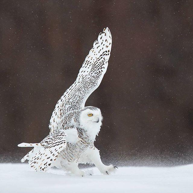 Walking the line Snowy owl Canon 1DX MK II 600mm II 1/3200 @ f/5.6 ISO 800 www.fredlemirephotography.com #owl #canada #canoncanada @canoncanada #outdoorphotomag @outdoorphotomag #prettybird #teamcanon #winter #canon #natgeo @natgeoyourshot