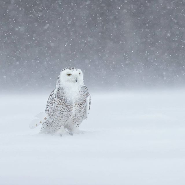 In the storm Snowy owl Canon 1DX mk II 1/3200 @f/6.3 ISO 800 www.fredlemirephotography.com #birds #owl #storm #shotoncanon #canoncanada @canoncanada #wild #natgeo @natgeoyourshot #igcwildlife @igscwildlife #nature #outdoorphotomag @outdoorphotomag #cangeo @cangeo #teamcanon