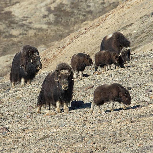 Muskox Canadian Arctic  Canon 1DX 200-400 1/1600 @ f/8 ISO 400  www.fredlemirephotography.com #muskox #arctic #canada #shotoncanon #teamcanon #canoncanada @canoncanada #natgeo @natgeo #cangeo @cangeo #nunavuttourism @nunavuttourism #igcwildlife #wildlifephotography #wild #outdoorphotomag @outdoorphotomag