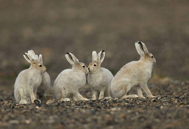 Happy Easter weekend ! Arctic hare Nunavut, Canada Canon1DX 600mm  www.fredlemirephotography.com #arctic #nunavuttourism #nunavut #canoncanada #shotoncanon #teamcanon #outdoorphotomag #natgeoyourshot #natgeo #cangeo #wildlifeonearth #igcwildlife #@canoncanada @cangeo @outdoorphotomag #imagesofcanada