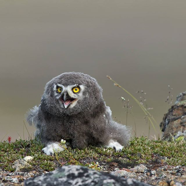 Iqaluit, Nunavut - Here is a snowy owlet sitting on top of a ridge on the Arctic tundra.  After riding my ATV through difficult terrain for a few hours and hiking up and down through a valleys and hills for a few more hours, I finally arrived at the place where I first discover the small owlets. However, these little guys grow fast and had moved.  I was almost ready to head back to town when I saw one at my foot and the other one was nearby.  I backed away so as not to disturb them and spent another hour photographing them.  Today I earned my shots.  Canon 1DX MKII 600 II with 1.4 ext 1/500s @ f/8 ISO 400 www.fredlemirephotography.com  #owl #arctic #tundra #summer #shotoncanon #canoncanada #natgeo #cangeo #outdoorphotomag #teamcanon #igcwildlife #wildlifeonheart #world_bestanimal @canoncanada @cangeo @nunavuttourism @outdoorphotomag @world_bestanimal @jobudesign @natgeoyourshot #imageofcanada