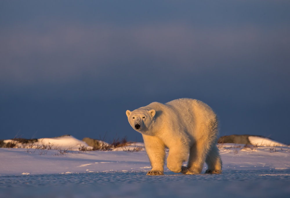 Polar bear photo safari