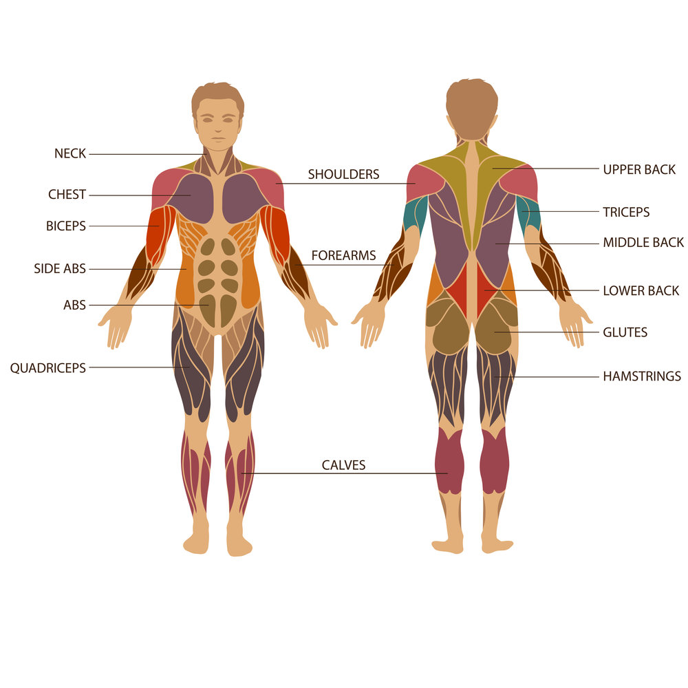 Strength training muscle diagram.jpg