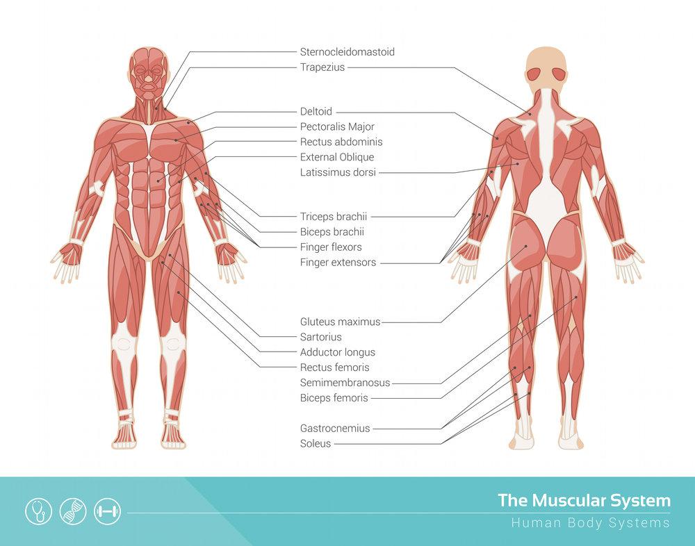 muscular system weight training.jpg