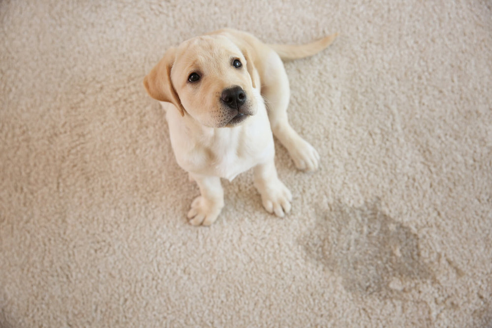 Pet Urine Odor Removal - Cleaning pet stains can be difficult but we know what works best. Cleaning a pet stain thoroughly is highly important so all germs and bacteria that cause odor are sanitized.LEARN MORE