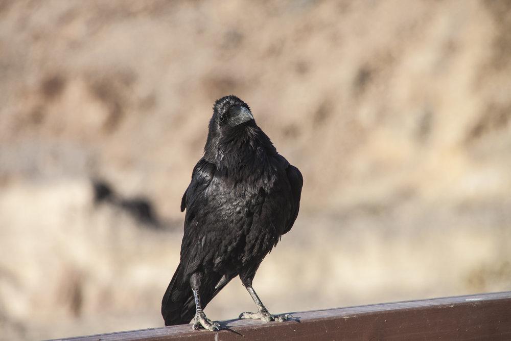 Common Raven,Corvus corax