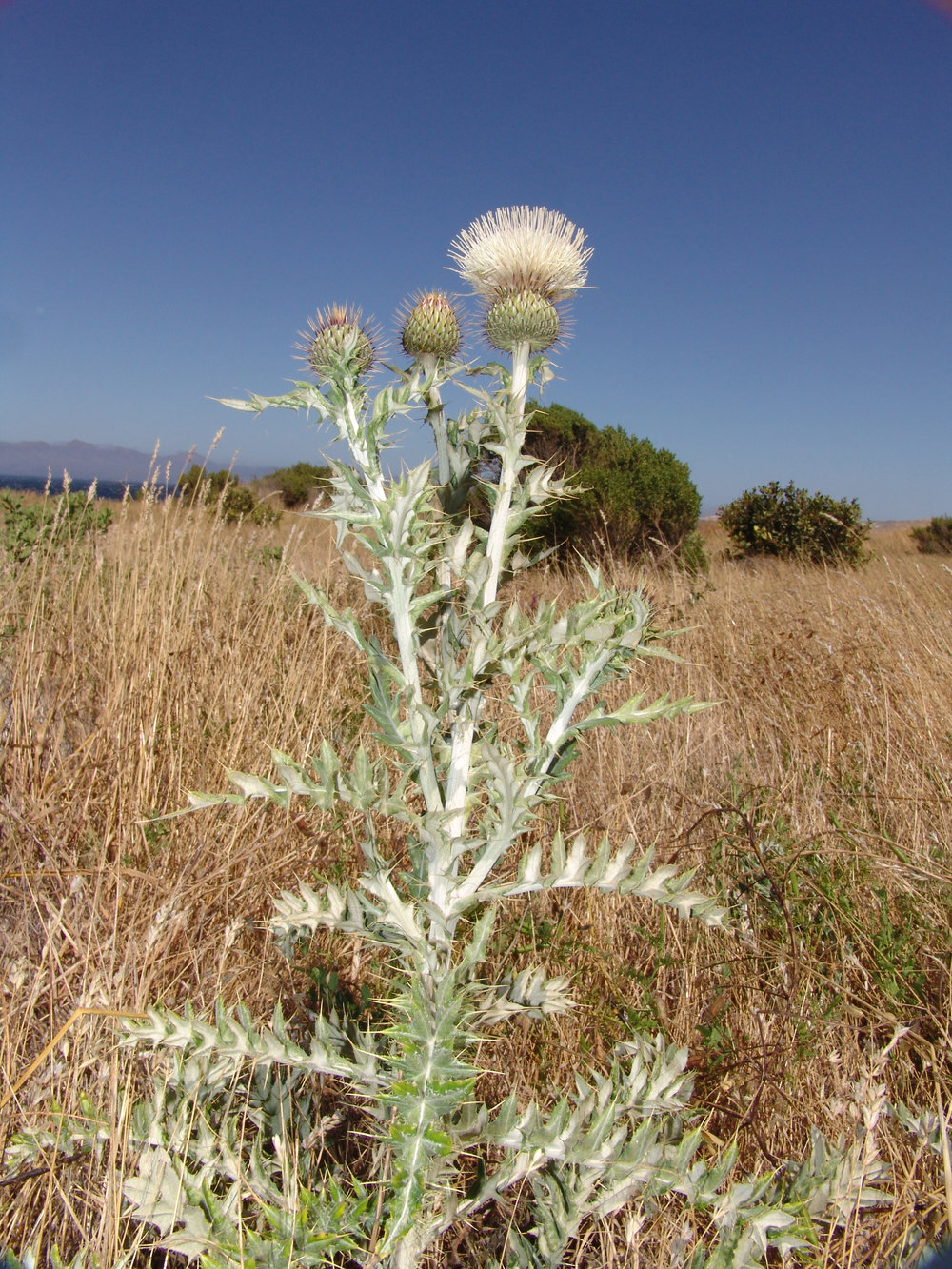 Yellowspine thistle ( Cirsium ochrocentrum )
