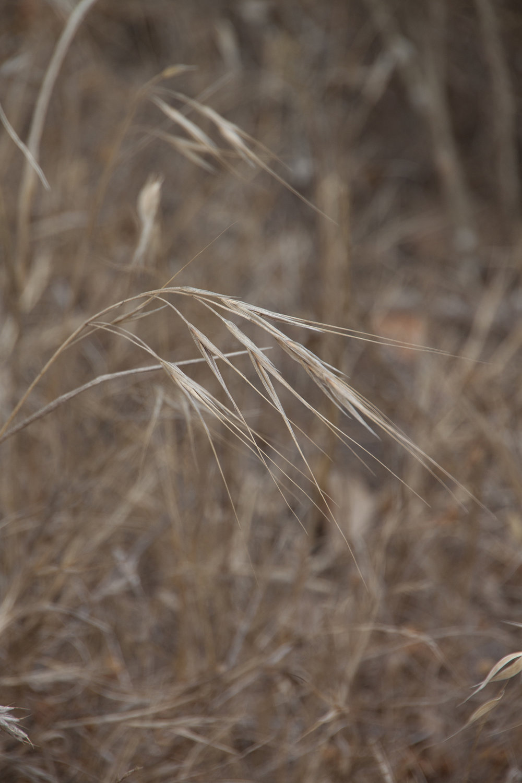 Bromus diandrus(summer)-01.jpg