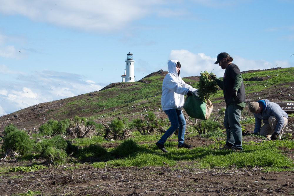 Anacapa Island Iceplant Removal