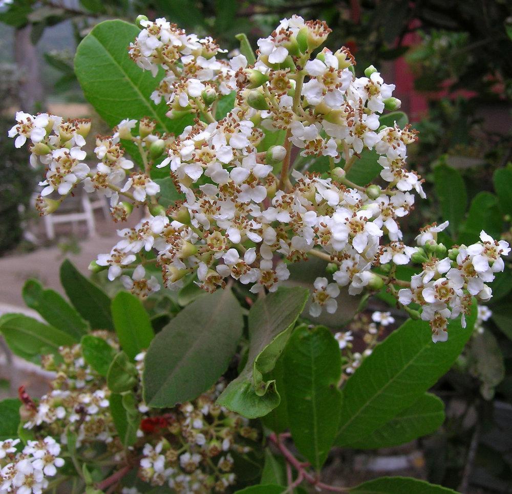 Heteromeles-arbutifolia-03.jpg