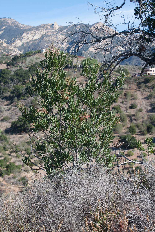 Heteromeles-arbutifolia-(winter)-01.jpg