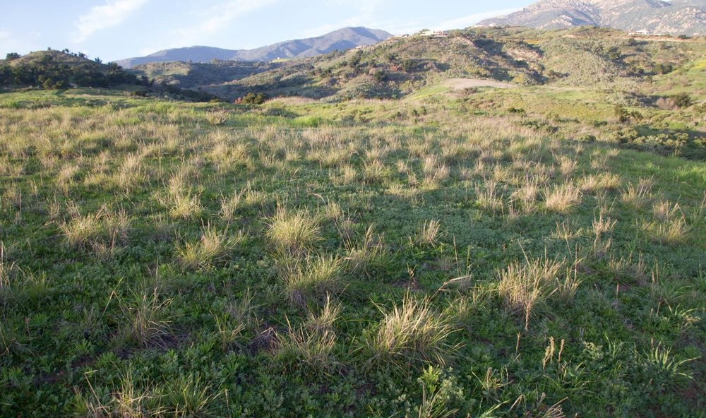 Native perennial bunchgrassses like purple needlegrass ( Stipa pulchra ) still inhabit some parts of the Preserve.