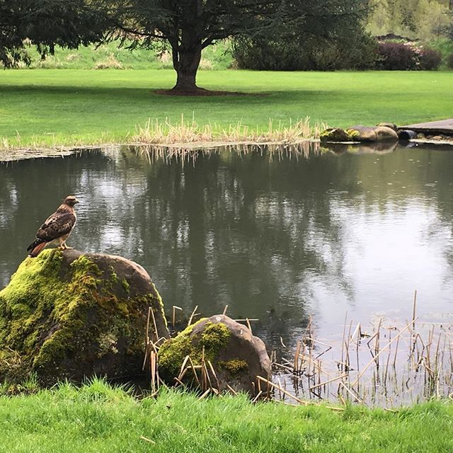 Just another day at the office  @sahhahleegc #pnw #birdofprey #getoutside #oregon